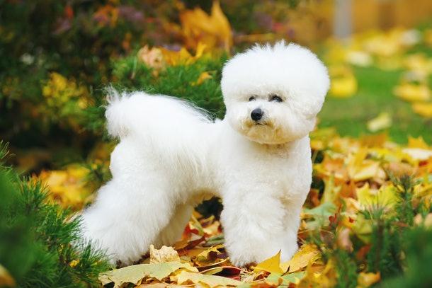 Бишон фризе собака для детей